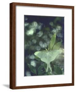 Luna Moth Clings to a Pond Side Chokecherry Tree by Alfred Eisenstaedt