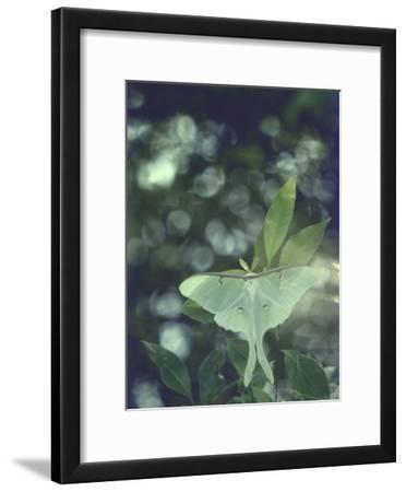 Luna Moth Clings to a Pond Side Chokecherry Tree