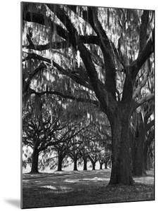 Oak Trees with Spanish Moss Hanging from Their Branches Lining a Southern Dirt Road by Alfred Eisenstaedt