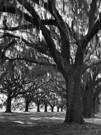 Oak Trees with Spanish Moss Hanging from Their Branches Lining a Southern Dirt Road