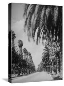 Palm Tree-Lined Street in Beverly Hills by Alfred Eisenstaedt