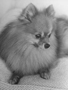 Pomeranian by Alfred Eisenstaedt