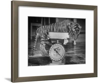 Rajpur, a Tiger Cub, Being Weighed on a Scale