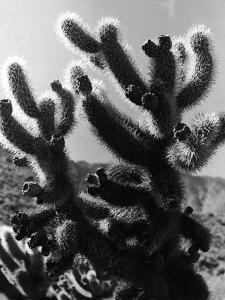Spiny Palm Springs Cactus by Alfred Eisenstaedt
