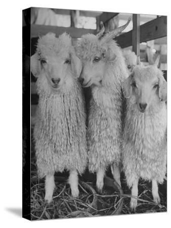 Three Angora Goats, Raised on Ranch for Their Fleece, Known Commercially as Mohair