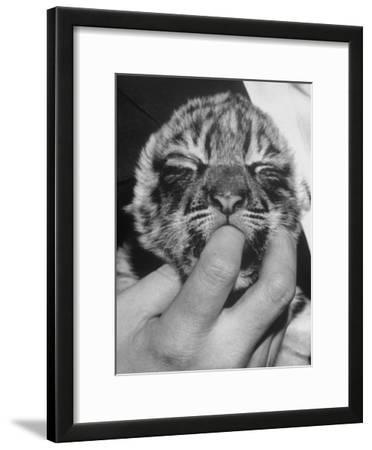 Tiger Cub Sucking a Human's Finger
