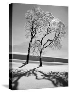 Trees in the Snow by Alfred Eisenstaedt