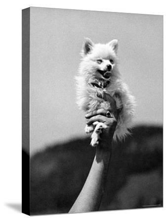 Very Small Dog Being Held Up by One Hand