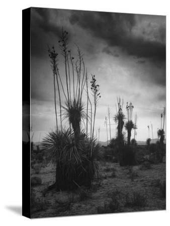 Yucca Plants in Desert