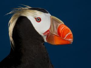 Tufted Puffin by Alfred Forns