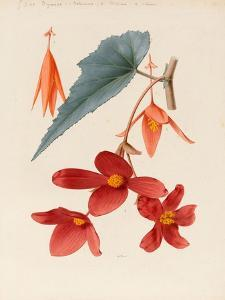 Analytical Drawing of a Flower, Leaves and a Section of Branch (W/C and Bodycolour on Card) by Alfred Riocreux