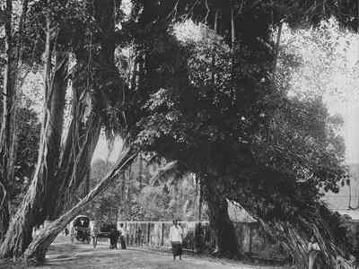 'Banyan Tree at Kalutara', c1890, (1910)