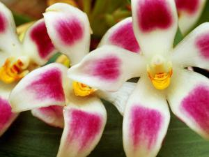 Cloud Forest Orchids (Maxillaria Ampliflora), Highlands by Alfredo Maiquez