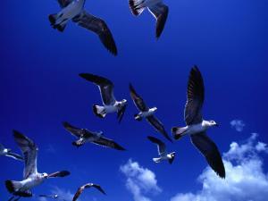 Flock of Franklin's Gulls (Larus Pixpican) in Flight, Costa Rica by Alfredo Maiquez