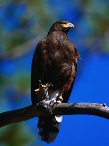 Harris Hawk (Parabuteo Unicintus), Perquin, El Salvador by Alfredo Maiquez
