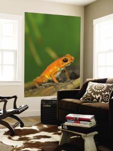 Strawberry Poison Frog (Dendrobates Pumilio) by Alfredo Maiquez