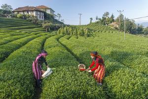 Girls Collecting Tea in Field in Rize, Black Sea Region of Turkey by Ali Kabas