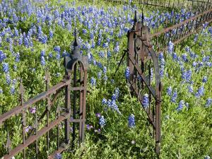 Bluebonnets and Phlox, Hill Country, Texas, USA by Alice Garland