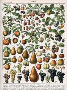 Illustration of Fruit Varieties, C.1905-10 by Alillot