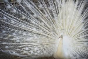 White Peacock by Aliraza Khatri's Photography