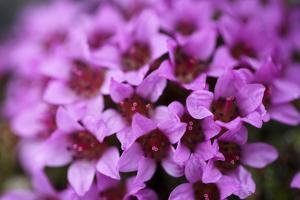 Arctic, Svalbard, Faksevagen. Close Up of Purple Saxifrage in Bloom by Aliscia Young