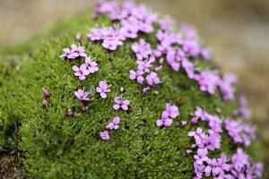 Arctic, Svalbard, Faksevagen. Cluster of Blooming Moss Campion by Aliscia Young