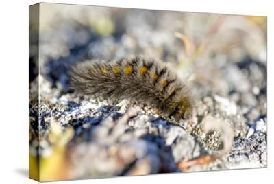 Canada, Nunavut, Baffin Island, Kekerten Island. Arctic Woolly Bear Caterpillar,