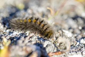 Canada, Nunavut, Baffin Island, Kekerten Island. Arctic Woolly Bear Caterpillar, by Aliscia Young