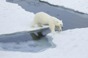 Greenland, Scoresby Sound, Polar Bear Jumps over Water to Reach Sea Ice by Aliscia Young