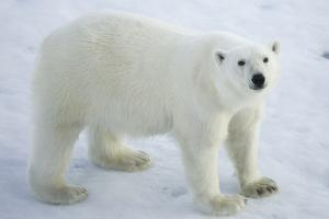 Greenland, Scoresby Sound, Polar Bear Standing on Sea Ice by Aliscia Young
