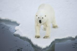 Greenland, Scoresby Sound, Polar Bear Stands at the Edge of Sea Ice at Waters Edge by Aliscia Young