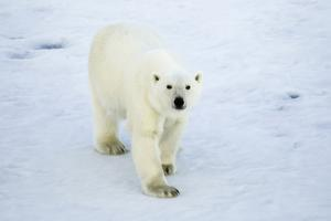 Greenland, Scoresby Sound, Polar Bear Walking on Sea Ice by Aliscia Young