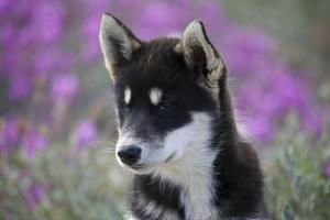 Greenland, Sisimiut, Young Husky Dog Alert and Curious with Soft Background by Aliscia Young