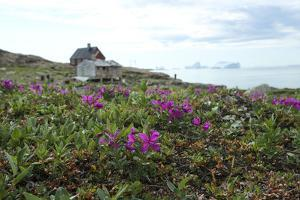 Greenland, Skydkapp, Fireweed Flower on the Arctic Tundra with Hunting Buildings in the Background by Aliscia Young