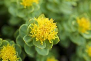 Greenland, Sydkapp, the Roseroot Aka King's Crown, Perennial Flowering Plant by Aliscia Young