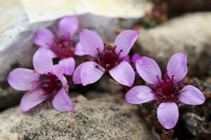 Gustav Adolf Land, Palanderbukta, Zeipelodden. Close-Up of Purple Saxifrage by Aliscia Young