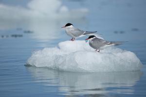 Svalbard, Spitsbergen, Liefdefjorden, Monacobreen. Pair of Arctic Tern Birds by Aliscia Young