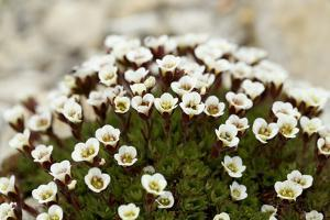 Svalbard, Zeipelodden. Tufted Saxifrage, Common to Many Arctic Heights by Aliscia Young