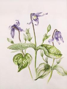 Clematis Integrifolia by Alison Cooper