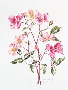 Rosa 'Mutabilis', 1996 by Alison Cooper