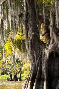Bald Cypress Closeup, Lake Fausse Point State Park, Louisiana, USA by Alison Jones