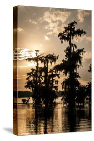 Bald Cypress in Water, Lake Martin, Atchafalaya Basin, Louisiana, USA