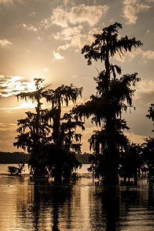 Bald Cypress in Water, Lake Martin, Atchafalaya Basin, Louisiana, USA