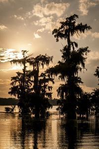 Bald Cypress in Water, Lake Martin, Atchafalaya Basin, Louisiana, USA by Alison Jones