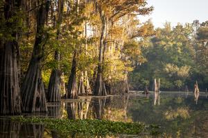 Bald Cypress in Water, Pierce Lake, Atchafalaya Basin, Louisiana, USA by Alison Jones