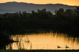 California, Gray Lodge Waterfowl Management Area, at Butte Sink by Alison Jones
