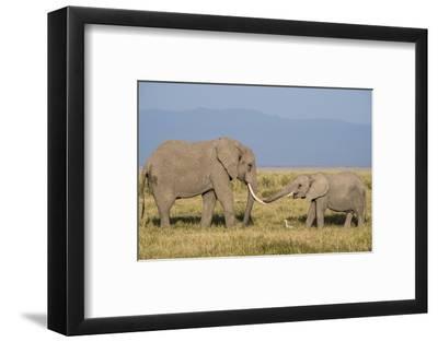 East Kenya, Amboseli National Park, Elephant (Loxodanta Africana)