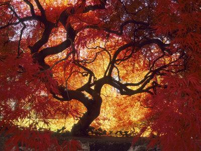 Japanese Maple, Darien, Connecticut, USA