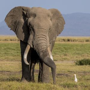 Kenya, Amboseli National Park, Elephant (Loxodanta Africana) by Alison Jones