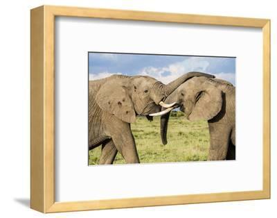 Kenya, Maasai Mara, Mara Triangle, Mara River Basin, African Elephant